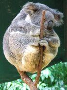 Phascolarctos cinereus (Koala resting in tree fork)