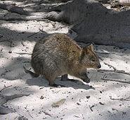 220px-Rottnest Quokka 2004 SeanMcClean