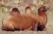 2808080442 camelus ferus.jpg
