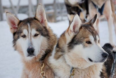 Ane-canis-lupus-familiaris-(siberian-husky)-00334.jpg