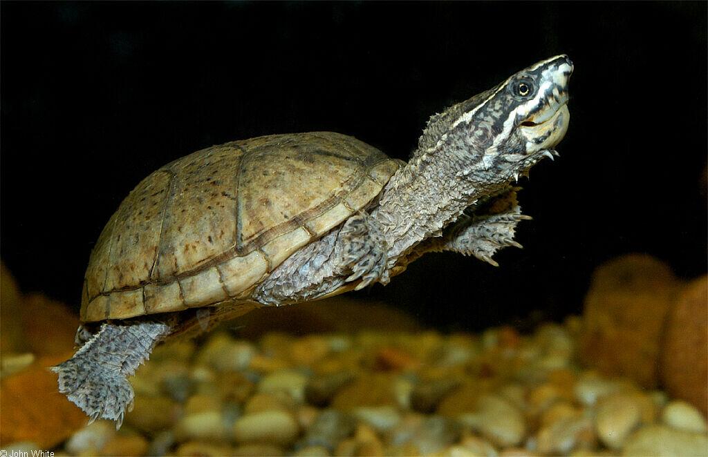 Eastern Musk Turtle (Sternotherus odoratus)500.jpg
