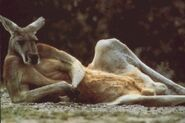 Canguros-graciosos-descansando