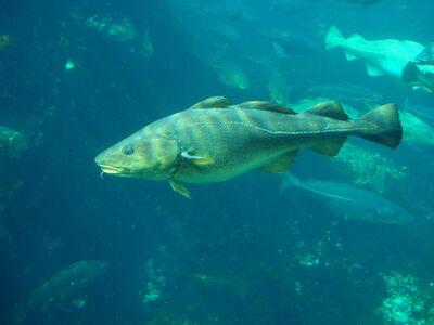20110502131950Gadus morhua-Cod-2-Atlanterhavsparken-Norway.jpg
