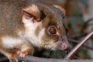 Pseudocheirus peregrinus, Common ringtail possum,lateral, Australia