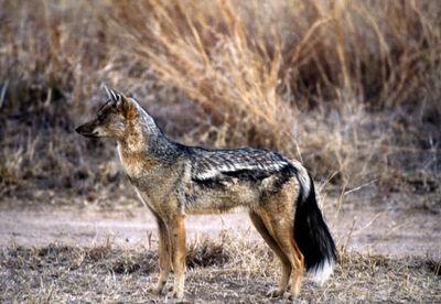 2466-side-striped-jackal-canis-adustus-s2.jpg