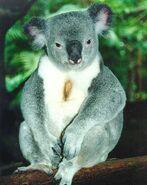 Koalapicture
