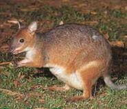 Sm-species-red-legged-pademelon25