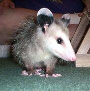 Opossum-0001.jpg
