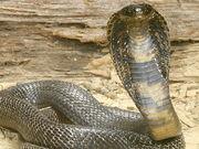 Cobra real 2.jpg