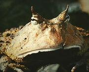 250px-Ceratophrys cornuta - 2.jpg