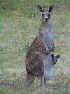 Marsupial03