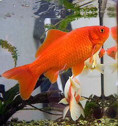 250px-Goldfish3.jpg