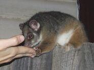 Pseudocheirus peregrinus (Possum fed cake on fence)