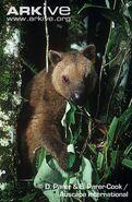 Dorias-tree-kangaroo-feeding-on-leaves