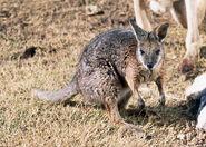 Macropus eugenii Tammar wallaby captive