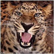 1103090532 leopardo amur cazando 122.jpg