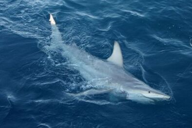 Tiburon-hibridacion-australia.jpg 400.jpg