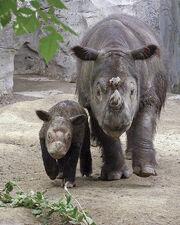 2711080150 rinoceronte sumatra 5.jpg