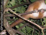 Comadreja común de cola anillada