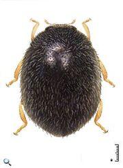 Stethorus peruvianus.jpg