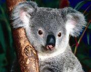 Koala Gris 1024x768-430251.jpg