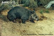 Northern-hairy-nosed-wombat-walking