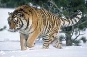 0903091247 panthera tigris altaica 4.jpg