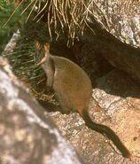 Brushtailedrockwallaby1