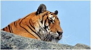 Tigres1-300x165.jpg