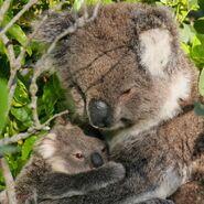 Koala-13031q8