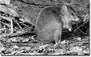 Long-footed-potoroo (2)