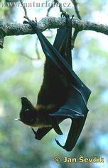 Pteropus-vampyrus--kalon