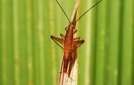 1306227004559Saltoblattella montistabularis male1 image by Mike Pickergd.jpg