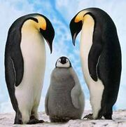 Pinguino-emperador-13.jpg