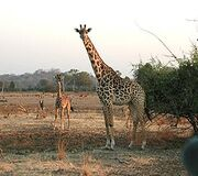 240px-Giraffen.jpg