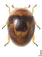Clitostethus arcuatus