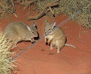 AniM06-Mala-Hare-wallaby