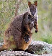 Tsday08-rock-wallaby