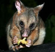 Possum (1)