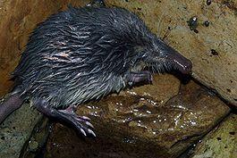 265px-Galemys pyrenaicus 01 by-dpc.jpg