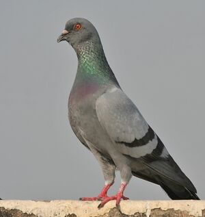 Rock Dove.jpg