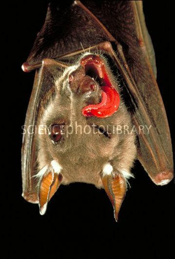 C0021540-Fruit bat eats fig-SPL.jpg
