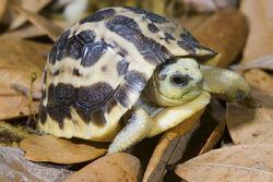 Pyxis arachnoides Spider tortoise copy.jpg