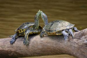 300px-Turtles Costa Rica.jpg