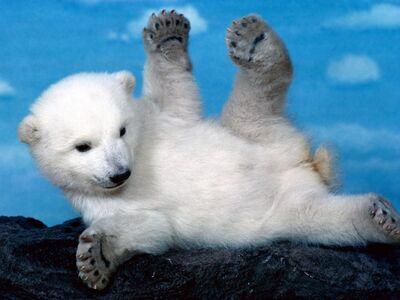 Oso polar bebe.jpg