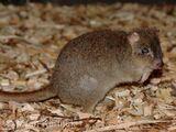 Rata canguro de cola peluda