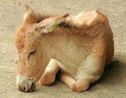 1401090351 burro salvaje asiatico 22.jpg