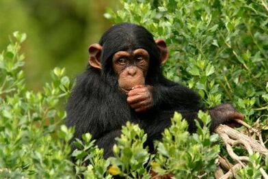 Young Chimp Eating 600.jpg