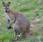 Grey kenguru