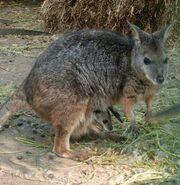 Macropus eugenii with calf